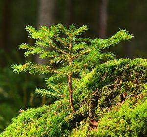Puun taimia sammalmättäällä.